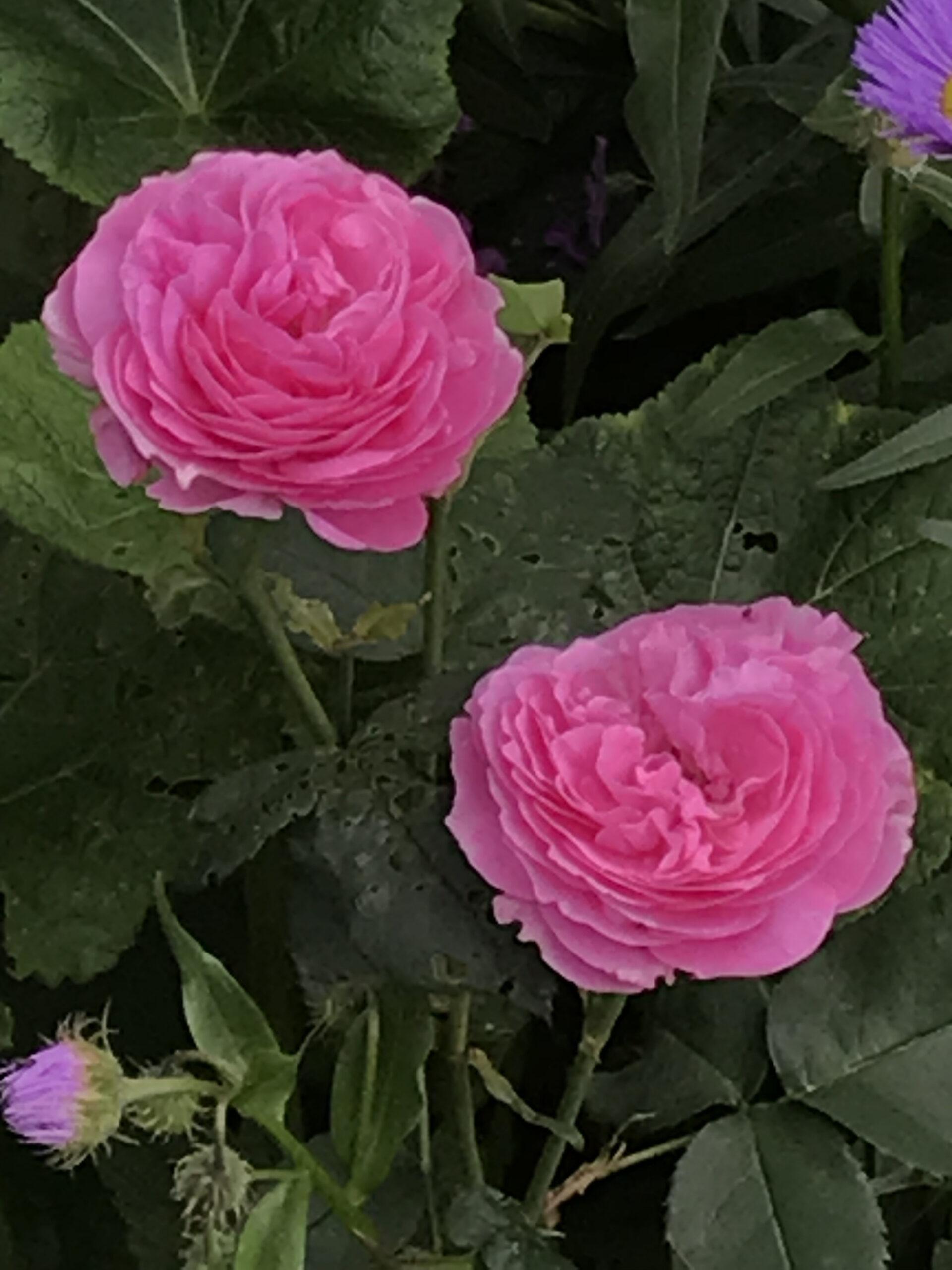 Flora Linnea
